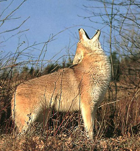 I Think I D Make Grade A Coyote Meat Or At Least Grade B Part 2 Of 3 My Experiments With Sanity